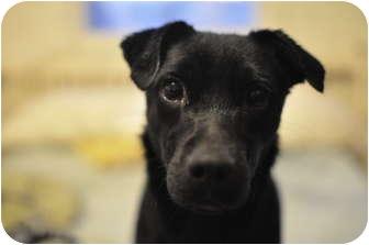 Whippet/Terrier (Unknown Type, Small) Mix Dog for adoption in Toronto/Etobicoke/GTA, Ontario - CoalPENDING
