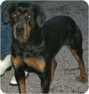 Rottweiler Dog for adoption in Questa, New Mexico - Bowser