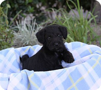 Schnauzer (Miniature)/Terrier (Unknown Type, Small) Mix Puppy for adoption in Newport Beach, California - DENNIS