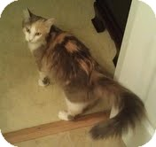 Domestic Longhair Cat for adoption in Foster, Rhode Island - Kali-Reduced Fee!