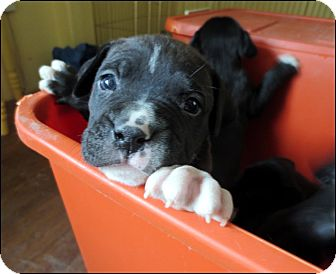 Boxer/American Staffordshire Terrier Mix Puppy for adoption in Colville, Washington - Boxer mix Pups
