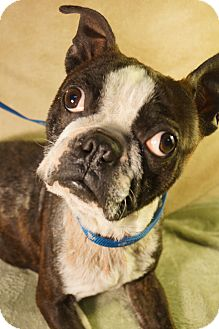 Boston Terrier Dog for adoption in Newark, Delaware - Ripley