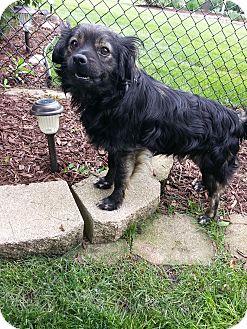 Pekingese/Cavalier King Charles Spaniel Mix Dog for adoption in Orland Park, Illinois - Fozzy Bobby