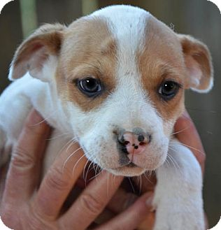 Boxer Mix Puppy for adoption in Spring Valley, New York - Captain
