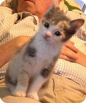 Domestic Shorthair Kitten for adoption in Westfield, Massachusetts - Hannah