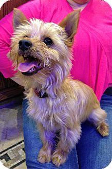 Yorkie, Yorkshire Terrier/Maltese Mix Dog for adoption in Encino, California - Koda