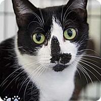 Adopt A Pet :: Lara Croft - Merrifield, VA