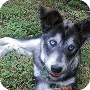 Husky Mix Puppy for adoption in Austin, Texas - Chuy