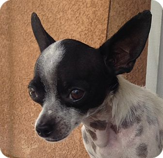 Chihuahua Dog for adoption in San Marcos, California - Tippy