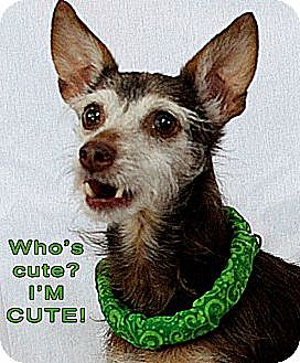 Terrier (Unknown Type, Small)/Dachshund Mix Dog for adoption in Wichita Falls, Texas - Cadbury