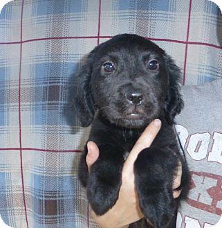 Golden Retriever/Labrador Retriever Mix Puppy for adoption in Oviedo, Florida - Mia