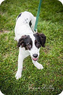 Spaniel (Unknown Type)/Border Collie Mix Puppy for adoption in Hammonton, New Jersey - Riley