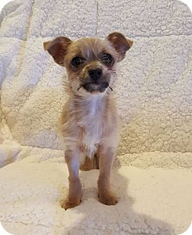 Terrier (Unknown Type, Small)/Chihuahua Mix Puppy for adoption in Knoxville, Tennessee - Scrappy Doo