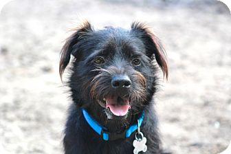 Schnauzer (Standard)/Dachshund Mix Dog for adoption in Allentown, Pennsylvania - Fondren