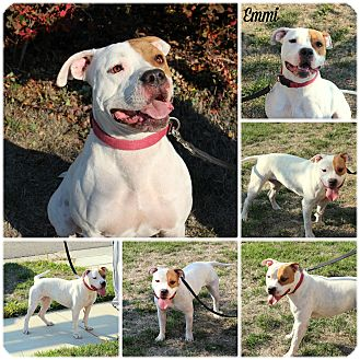 American Bulldog Mix Dog for adoption in Yuba City, California - Emmi