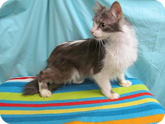 Norwegian Forest Cat Cat for adoption in Waldorf, Maryland - Toby