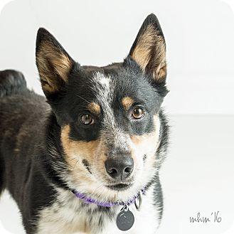 Corgi/Cattle Dog Mix Dog for adoption in Naperville, Illinois - Cowboy