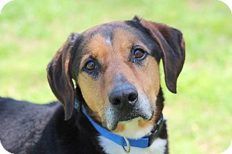German Shepherd Dog/Hound (Unknown Type) Mix Dog for adoption in Prince Frederick, Maryland - Clyde