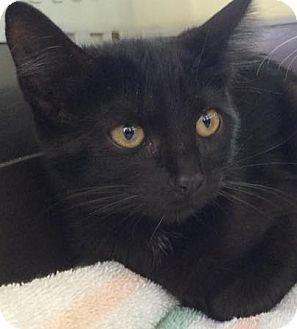Domestic Mediumhair Kitten for adoption in Eureka, California - Velvet