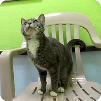 Domestic Shorthair Cat for adoption in Janesville, Wisconsin - Emmy Lou