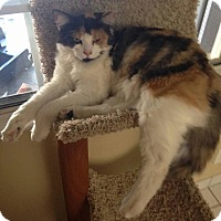 Calico Cat for adoption in Baldwin Park, California - Belle