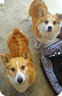Welsh Corgi Dog for adoption in Mount Gilead, Ohio - Chloe & Clyde