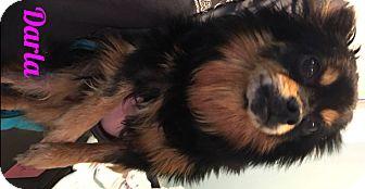 Pomeranian Mix Dog for adoption in Muskegon, Michigan - Darla