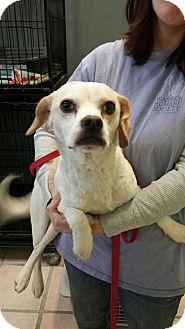 Pug/Beagle Mix Dog for adoption in Newburgh, Indiana - Frosty