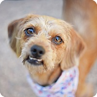 Adopt A Pet :: Waffles - Kingwood, TX