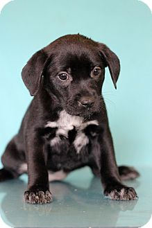 Labrador Retriever Mix Puppy for adoption in Waldorf, Maryland - Kreme