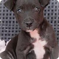 Adopt A Pet :: Icee - Alpharetta, GA