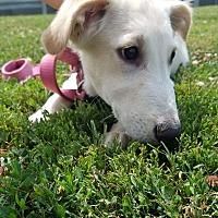 Adopt A Pet :: Orzo - Charlestown, RI