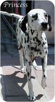 Dalmatian Dog for adoption in Mandeville Canyon, California - Princess