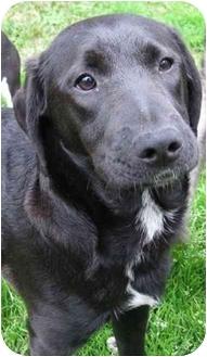 Labrador Retriever Mix Dog for adoption in Portsmouth, Rhode Island - Rally