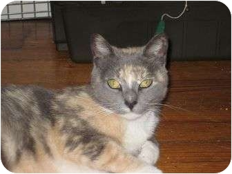 Domestic Shorthair Cat for adoption in bloomfield, New Jersey - Kika
