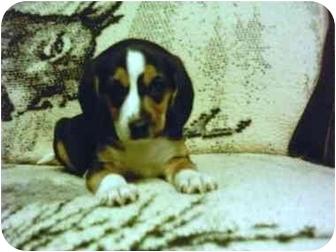 Beagle Puppy for adoption in Bloomsburg, Pennsylvania - Frances Bean & Biggie Small