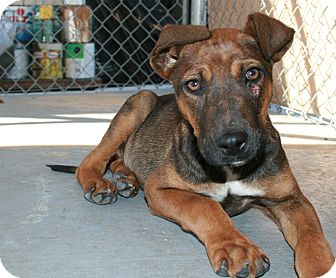 Dutch Shepherd/Hound (Unknown Type) Mix Puppy for adoption in San Antonio, Texas - Sargent