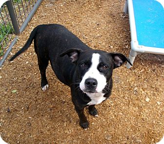 Pit Bull Terrier Mix Dog for adoption in Stow, Maine - Nina