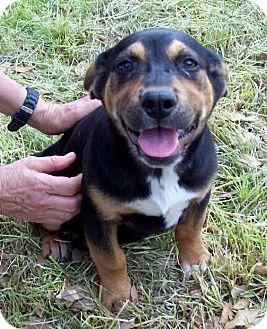 Black and Tan Coonhound/Basset Hound Mix Puppy for adoption in Glastonbury, Connecticut - BECKETT