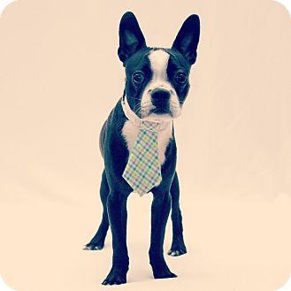 Boston Terrier Dog for adoption in Bridgeton, Missouri - Simon-Adoption pending