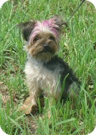 Yorkie, Yorkshire Terrier Dog for adoption in Larned, Kansas - Mamas