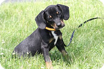 Beagle/Australian Shepherd Mix Puppy for adoption in West Milford, New Jersey - TURNER