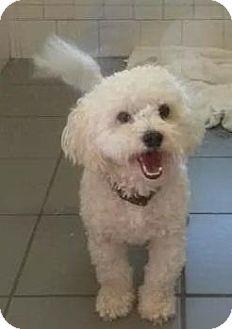 Bichon Frise Mix Dog for adoption in Flower Mound, Texas - Kirby