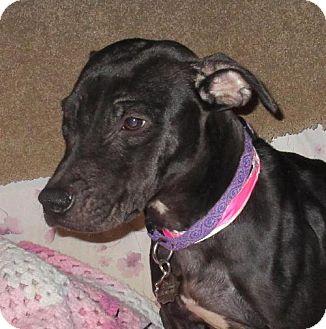 American Staffordshire Terrier/Labrador Retriever Mix Dog for adoption in Englewood, Colorado - EMMA
