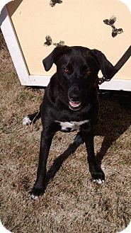 Labrador Retriever Mix Dog for adoption in Springfield, Vermont - Dillbee