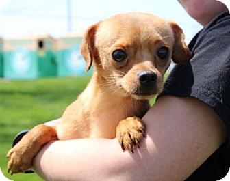 Chihuahua Mix Dog for adoption in Elyria, Ohio - Apricot