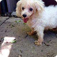Adopt A Pet :: Bangs Morgan - Antioch, IL
