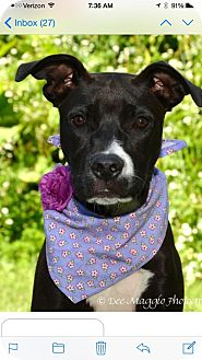 Labrador Retriever/Pit Bull Terrier Mix Dog for adoption in Mt. Clemens, Michigan - Rousey