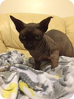 Sphynx Cat for adoption in Lincoln, Nebraska - Mustof