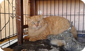 Maine Coon Cat for adoption in Ocala, Florida - Cheshire